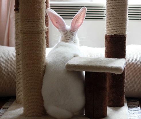 [ADOPTEE] Era, lapine réhabilitée de laboratoire 53759410