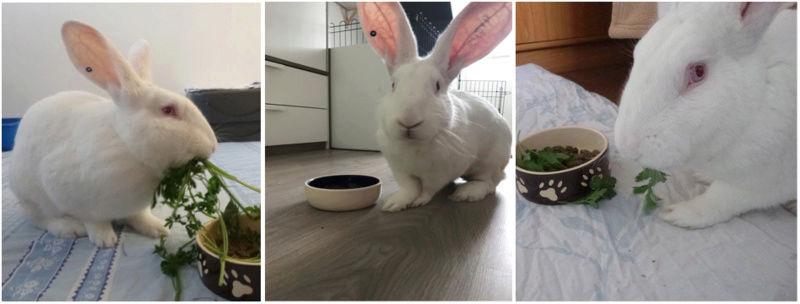 [ADOPTE] Elie, lapin réhabilité de laboratoire 54683110