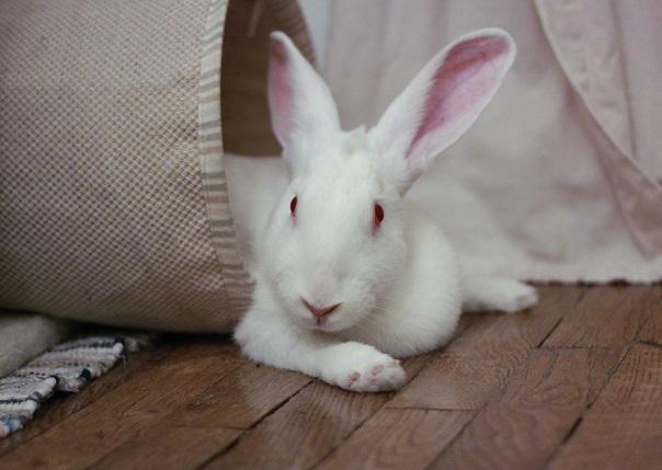 [ADOPTEE] Era, lapine réhabilitée de laboratoire 66910510