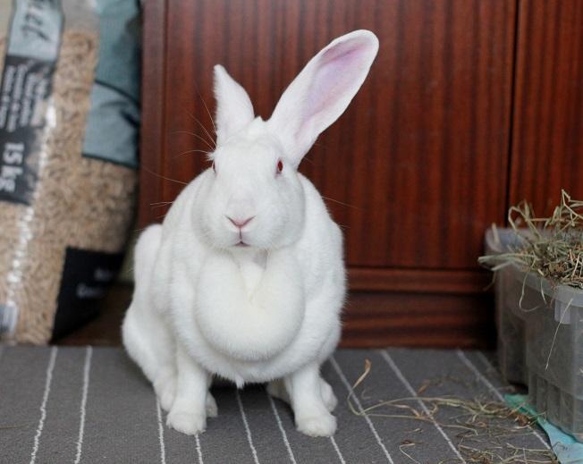 [ADOPTEE] Era, lapine réhabilitée de laboratoire 67195510