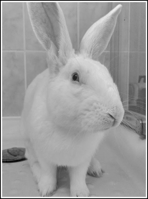 [ADOPTE] Elvis, lapin réhabilité de laboratoire 70900410