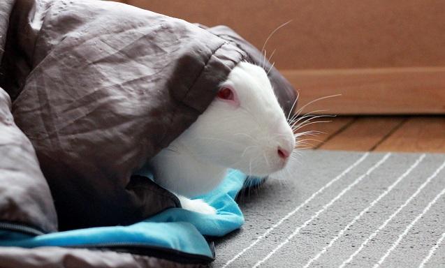 [ADOPTEE] Era, lapine réhabilitée de laboratoire 72806910