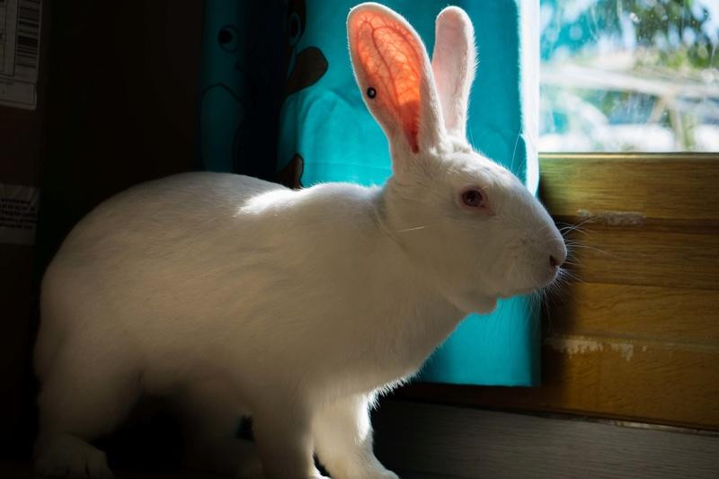 [ADOPTE] Ekko, lapin réhabilité de laboratoire 75981810