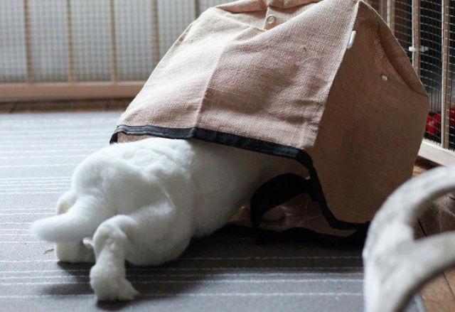 [ADOPTEE] Era, lapine réhabilitée de laboratoire 82283910