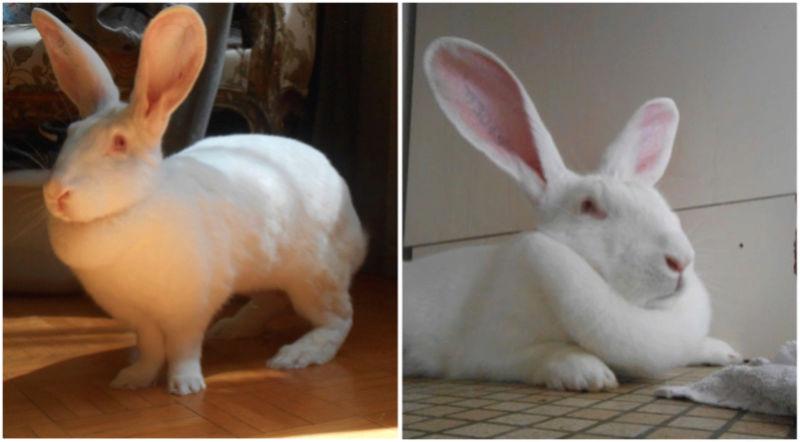 [ADOPTEE] Ebène, lapine réhabilitée de laboratoire 85066110