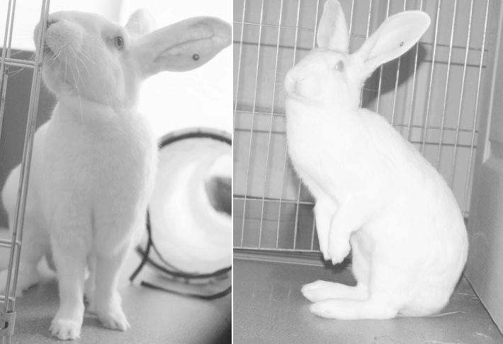 [ADOPTEE] Eléa, lapine réhabilitée de laboratoire 87024610