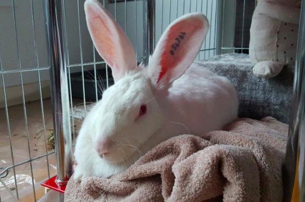 [ADOPTEE] Falka, lapine réhabilitée de laboratoire 87378511