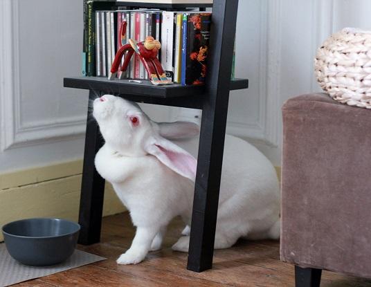 [ADOPTEE] Era, lapine réhabilitée de laboratoire 87887710