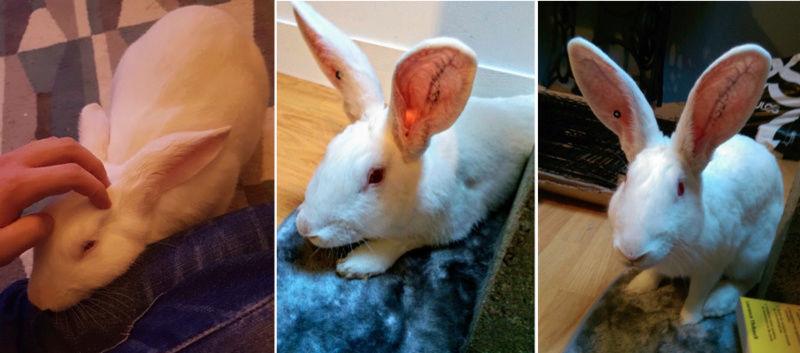 [ADOPTE] Elvis, lapin réhabilité de laboratoire 89542010