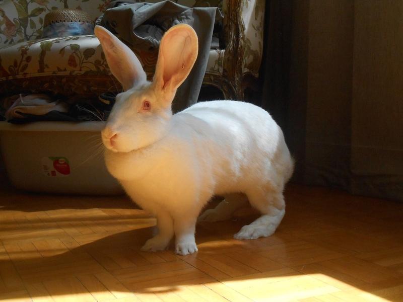 [ADOPTEE] Ebène, lapine réhabilitée de laboratoire 95856710