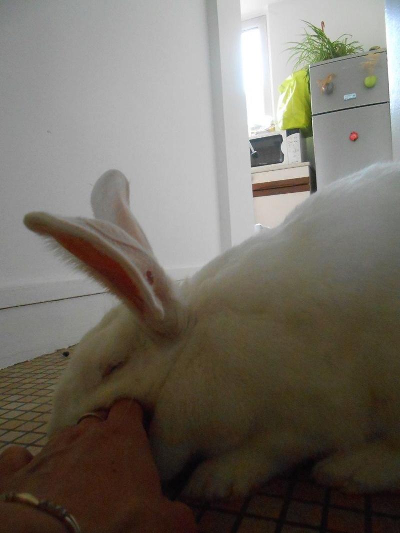 [ADOPTEE] Ebène, lapine réhabilitée de laboratoire Dscn5310