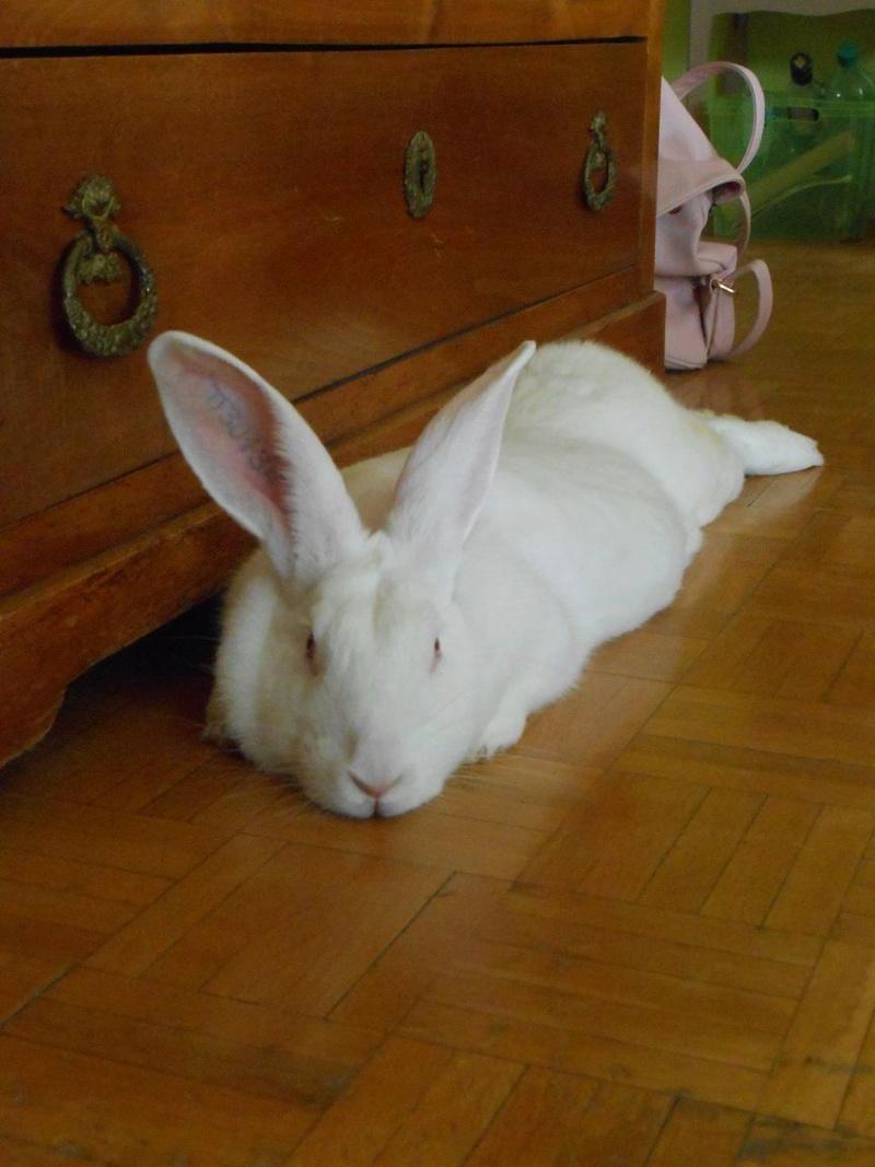 [ADOPTEE] Ebène, lapine réhabilitée de laboratoire Dscn5312