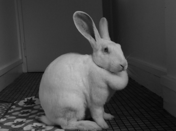 [ADOPTEE] Ebène, lapine réhabilitée de laboratoire Ebene110