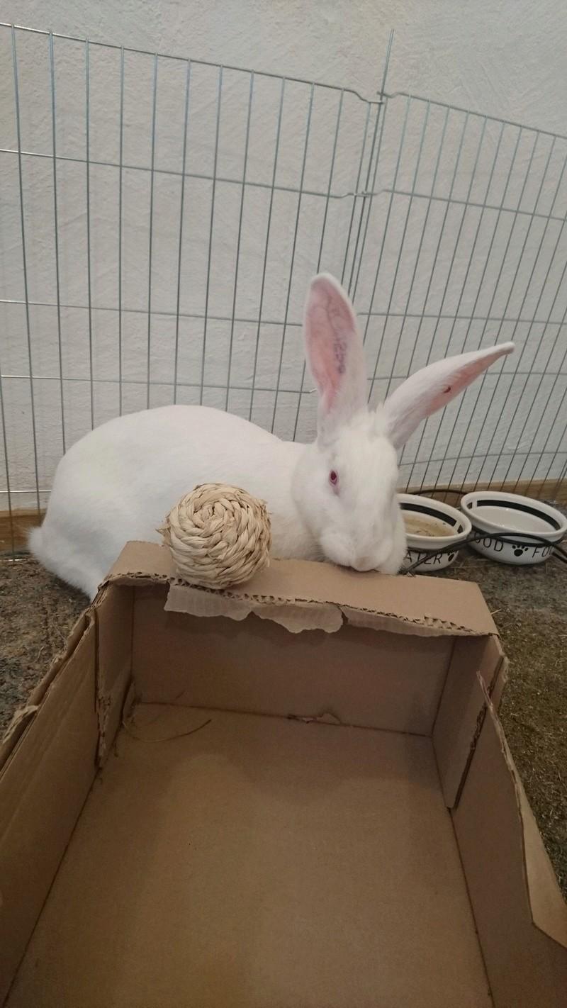 [ADOPTEE] Eden, lapine réhabilitée de laboratoire Edy31010