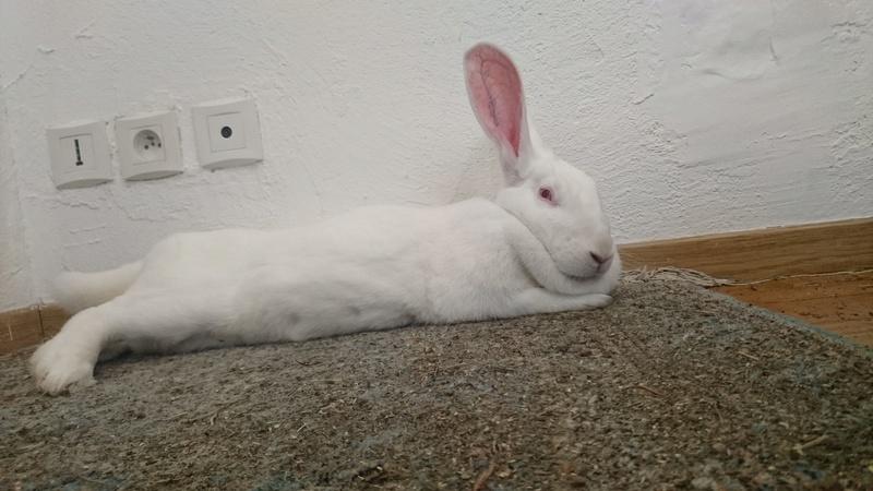 [ADOPTEE] Eden, lapine réhabilitée de laboratoire Edy41110