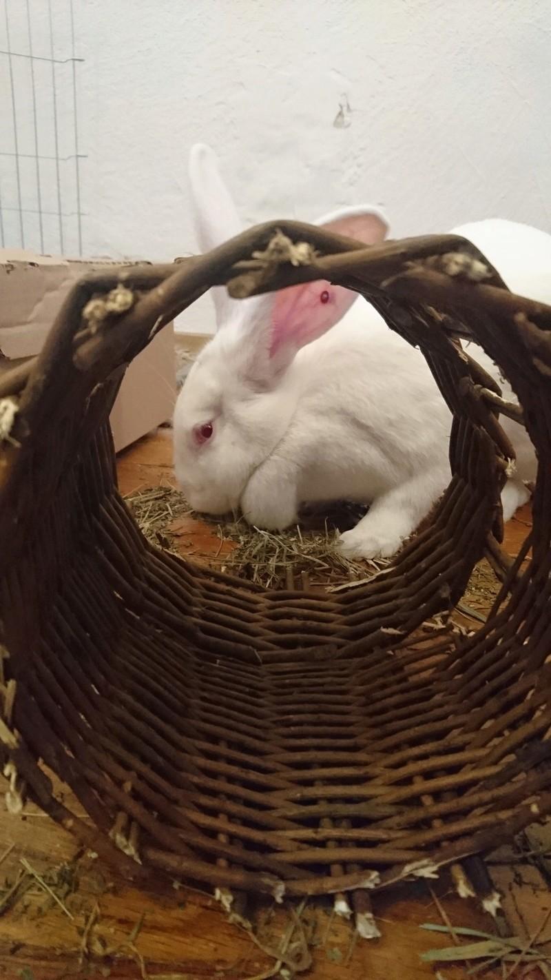 [ADOPTEE] Eden, lapine réhabilitée de laboratoire Edy71010