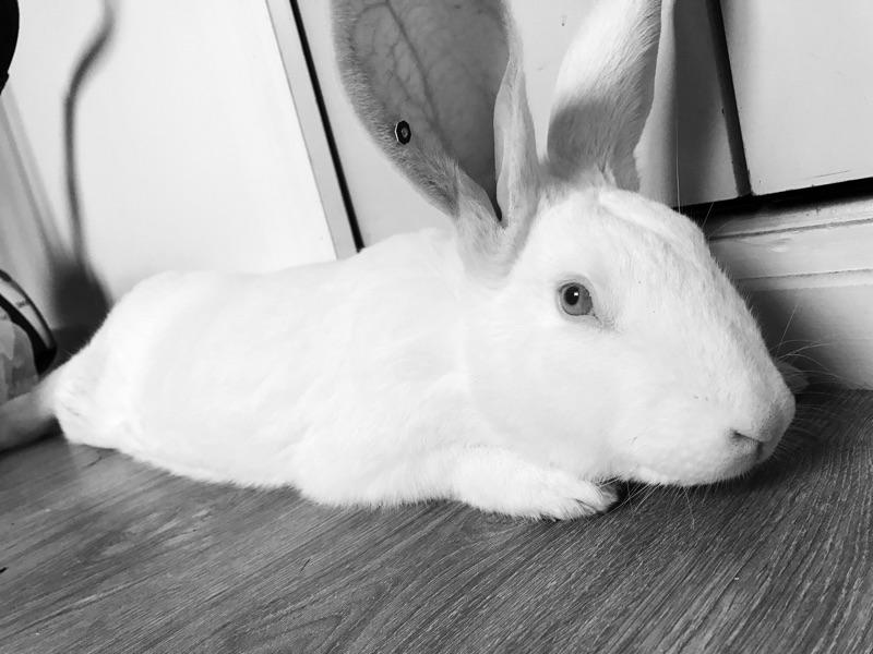 [ADOPTE] Elie, lapin réhabilité de laboratoire Elieim13