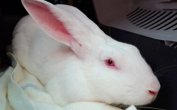 [DECEDE] Enyo, lapin réhabilité de laboratoire Enyo110