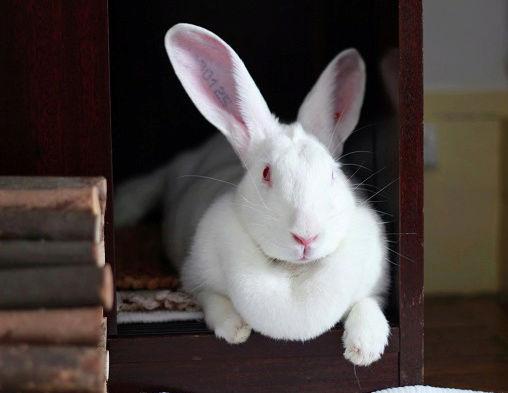 [ADOPTEE] Era, lapine réhabilitée de laboratoire Era110