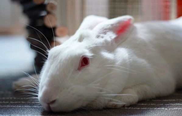 [ADOPTEE] Era, lapine réhabilitée de laboratoire Era210