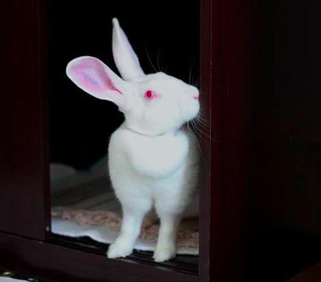 [ADOPTEE] Era, lapine réhabilitée de laboratoire Era310