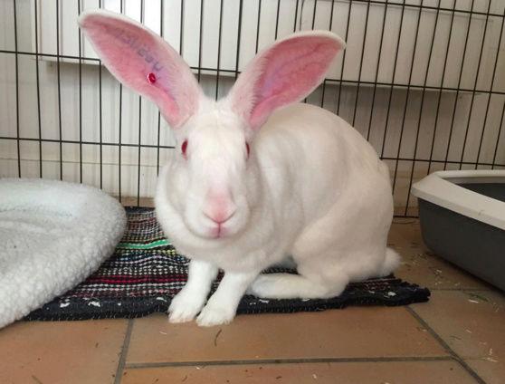 [ADOPTEE] Etoile, lapine réhabilitée de laboratoire Etoile10