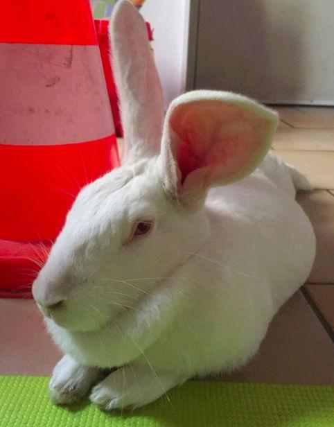 [ADOPTEE] Etoile, lapine réhabilitée de laboratoire Etoile12