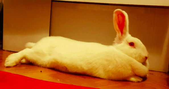 [ADOPTEE] Falka, lapine réhabilitée de laboratoire Falka210