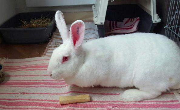 [ADOPTEE] Falka, lapine réhabilitée de laboratoire Falka310