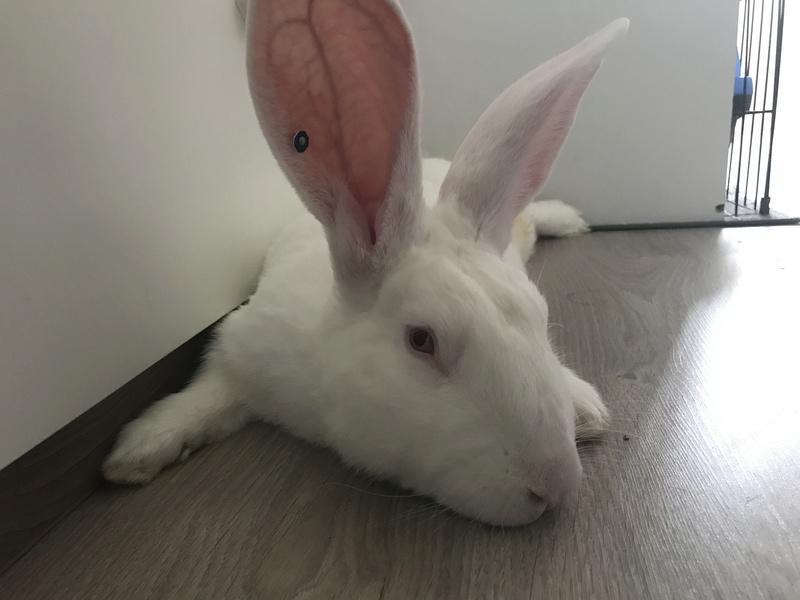 [ADOPTE] Elie, lapin réhabilité de laboratoire Img_0612