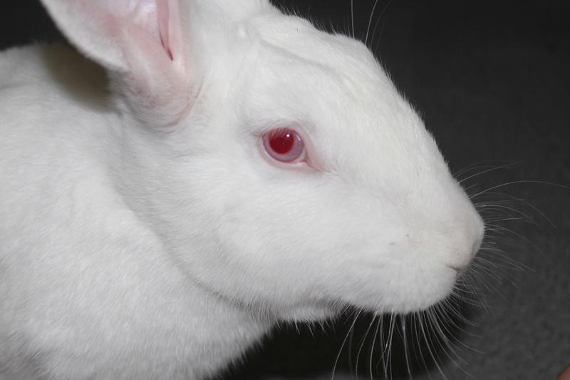 [ADOPTEE] Eléa, lapine réhabilitée de laboratoire Img_3010