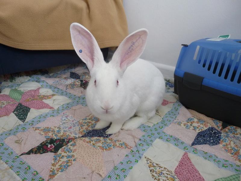 [ADOPTE] Elie, lapin réhabilité de laboratoire P1040910