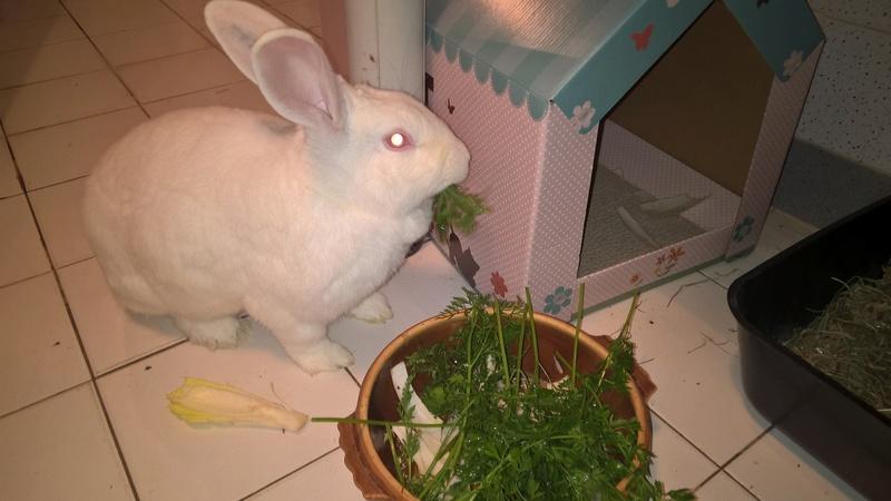 [ADOPTEE] Apple, lapine de laboratoire Wp_20110