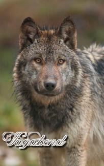 Loup Sauvage Vagabo10