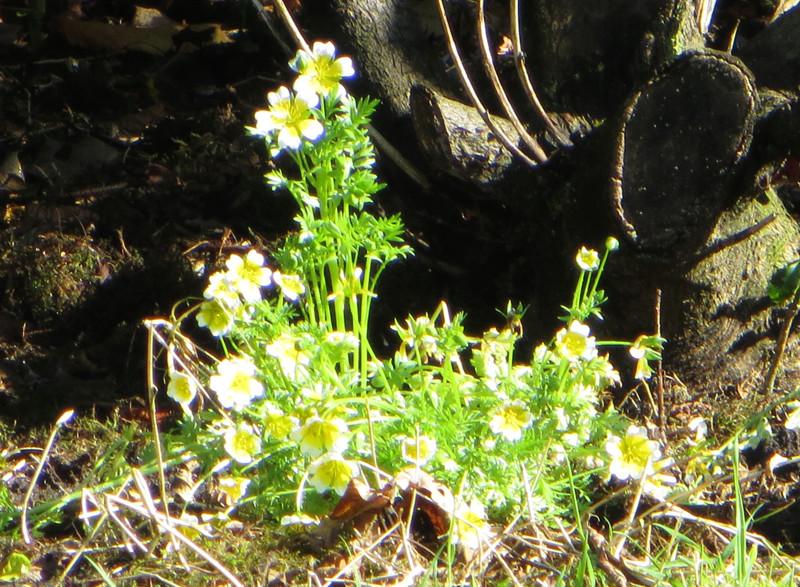 Schattenpflanzen: Spiegeleiblume Spiege10