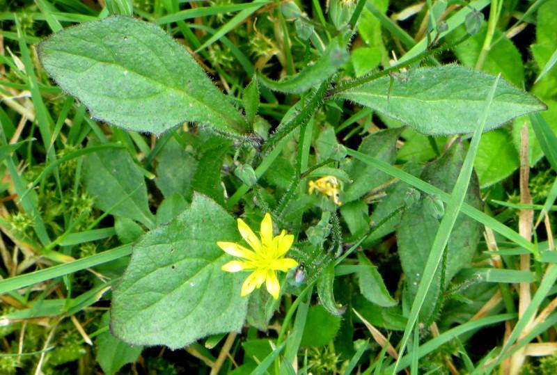 Welche niedrigen, blühenden Pflanzen eignen sich für den ab und zu gemähten Rasen? X-gelb10