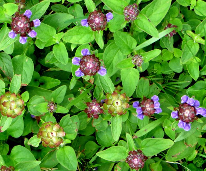 Welche niedrigen, blühenden Pflanzen eignen sich für den ab und zu gemähten Rasen? X-gyns10