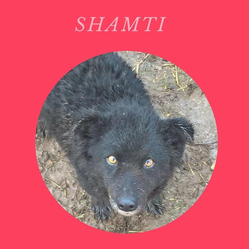 SHAMTI, F-Type Mudi, taille moyenne, 15 kg, née 2012 (BACKA) Pris en charge SPA DU 47 - Page 3 Shamti10