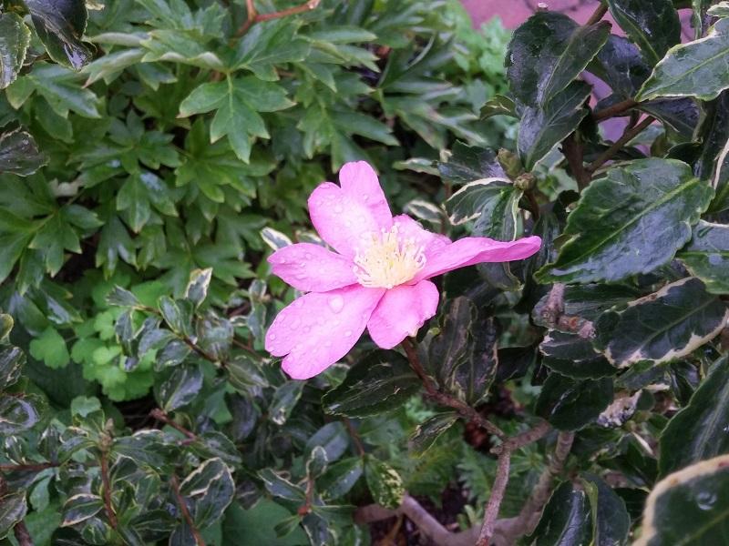 Camellia - Kamelien - Seite 4 Sasanq10
