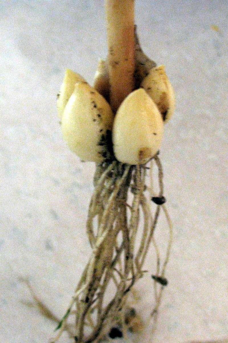 Garlic Growing Lovers Img_4315