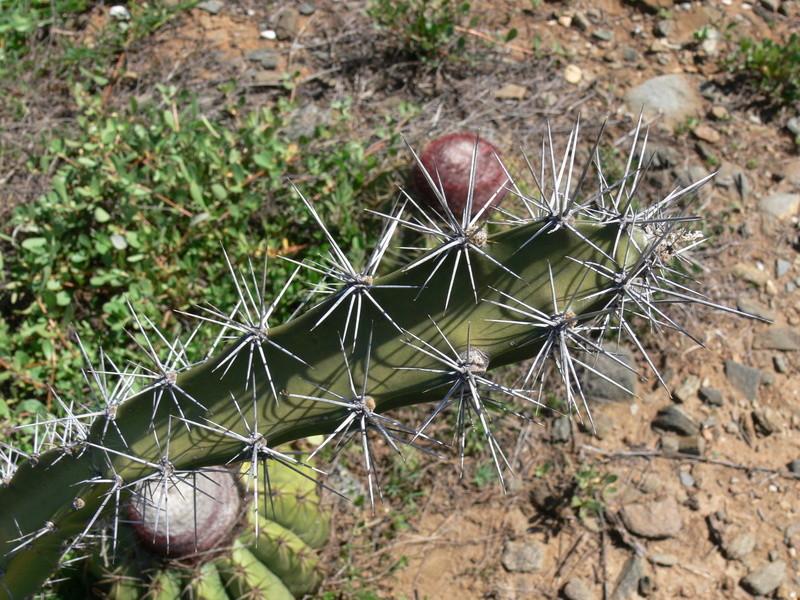 Acanthocereus tetragonus P1010017
