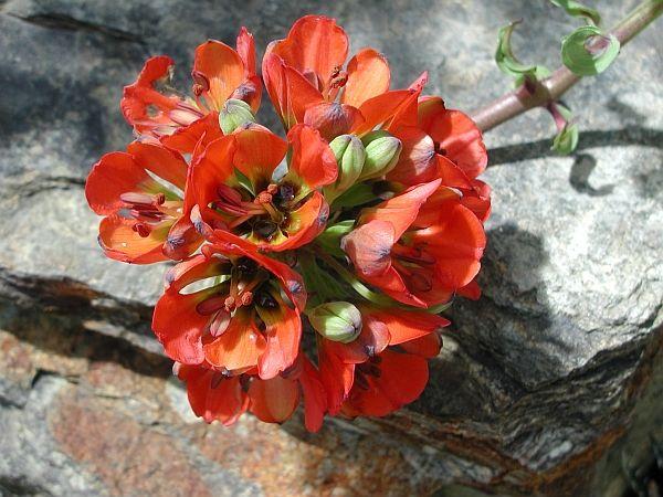 Lilien(artige) -  natürlich Lilien, aber auch Inkalilien, Zeitlose, Germer und Stechwinden - Seite 11 620_bi10