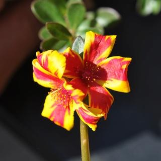 Portulaca umbraticola 'Duet Rose' Dsc_0621