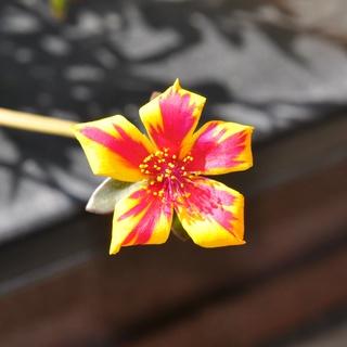 Portulaca umbraticola 'Duet Rose' Dsc_0622