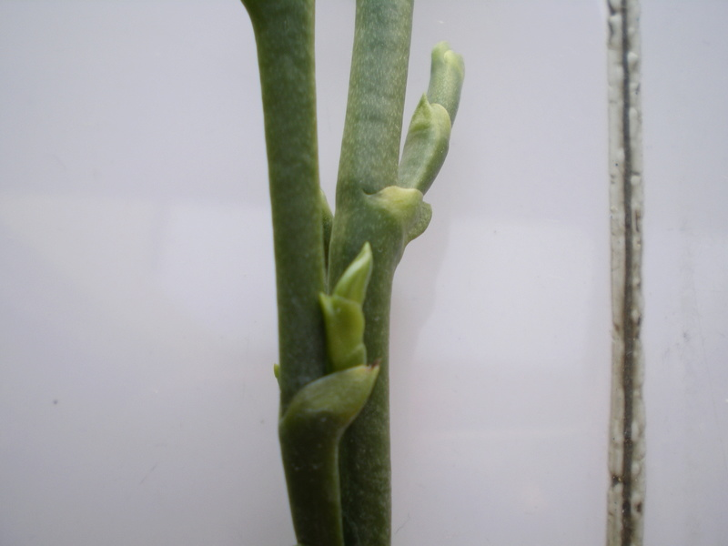 Phalaenopsis 'Sweet Memory' keiki ? 2017_011