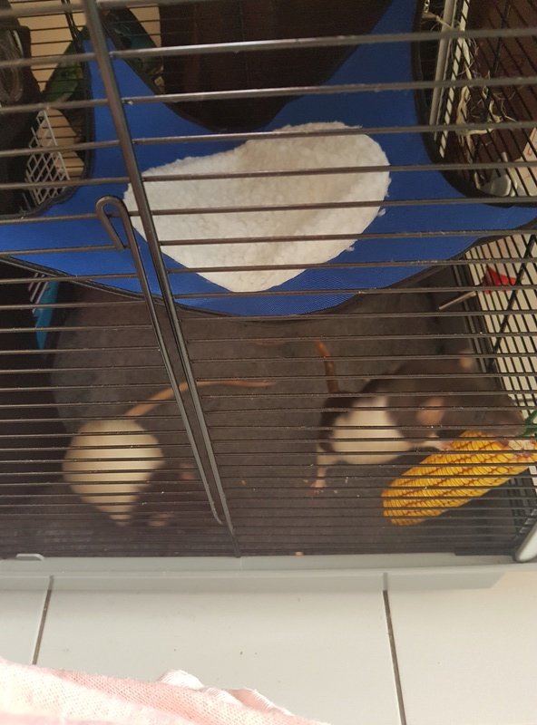 Mes rats ne sentent pas bon  20170911