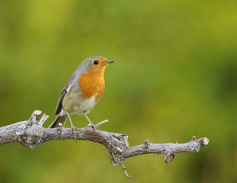 [Ouvert] FIL - Oiseaux. Rg10