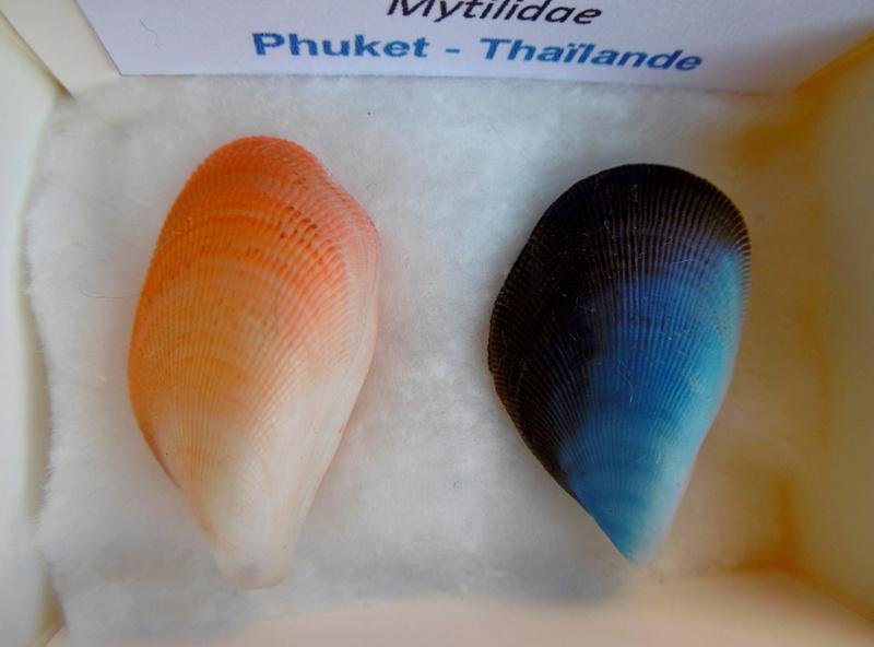 Coquillages bleus P1000610