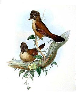 Actinodura nepalesa 250px625