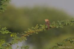 Turdoide indio M_201411